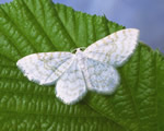 Small White Wave (R Leverton)