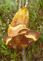Norther Eggar (pair) R Leverton