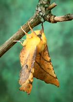 Canary-shouldered Thorn, Ennomos alniaria (photo by Roy Leverton)