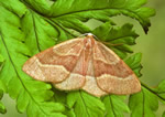 Barred Red (R Leverton)