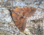 Pine Carpet, Thera firmata (R Leverton)