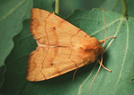 Angle-striped Sallow, Enargia paleacea (R Leverton)