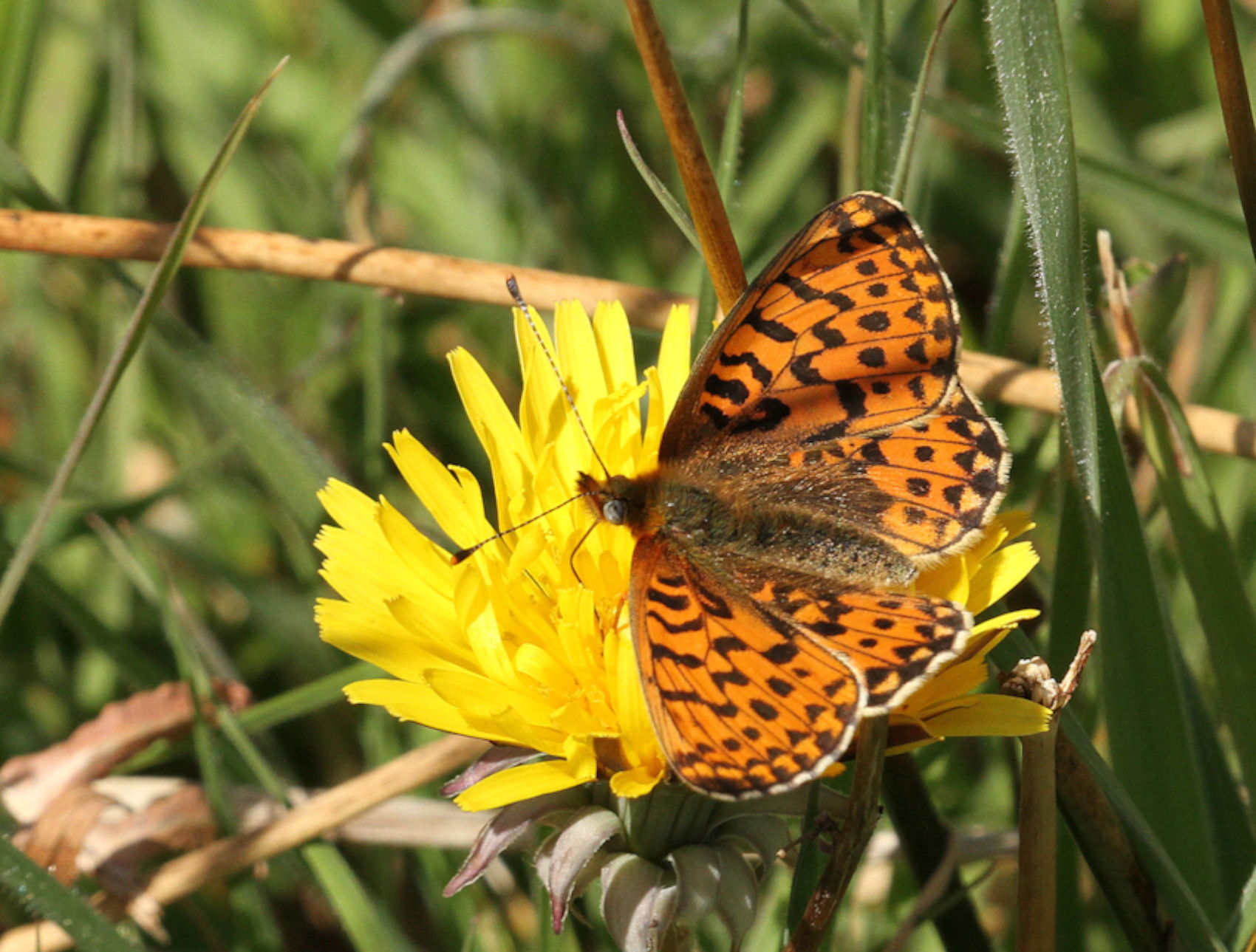 Pearl-bordered Fritilary