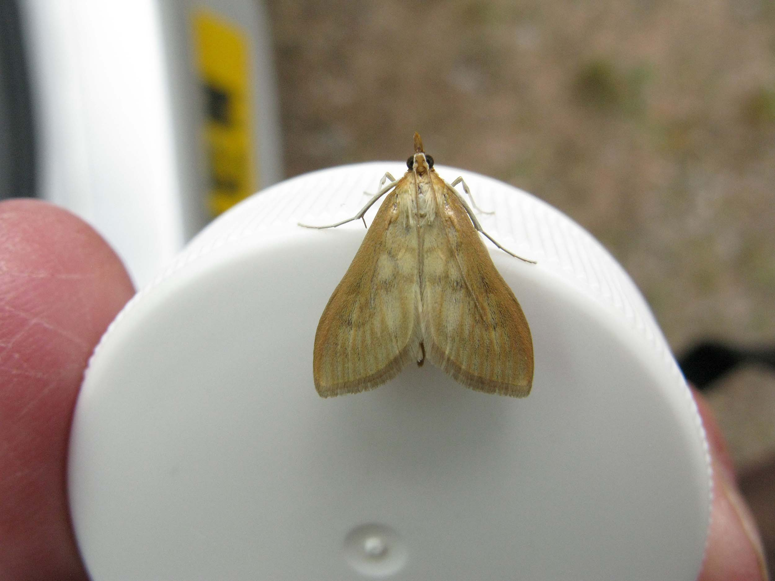 Bordered Pearl