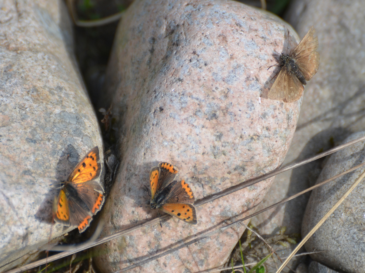 Small Copper & Dingy Skipper