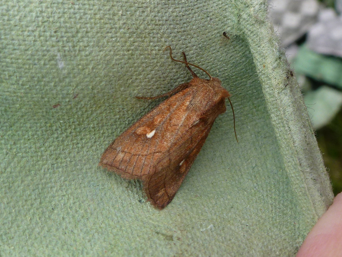 Brown-line Bright-eye Moth