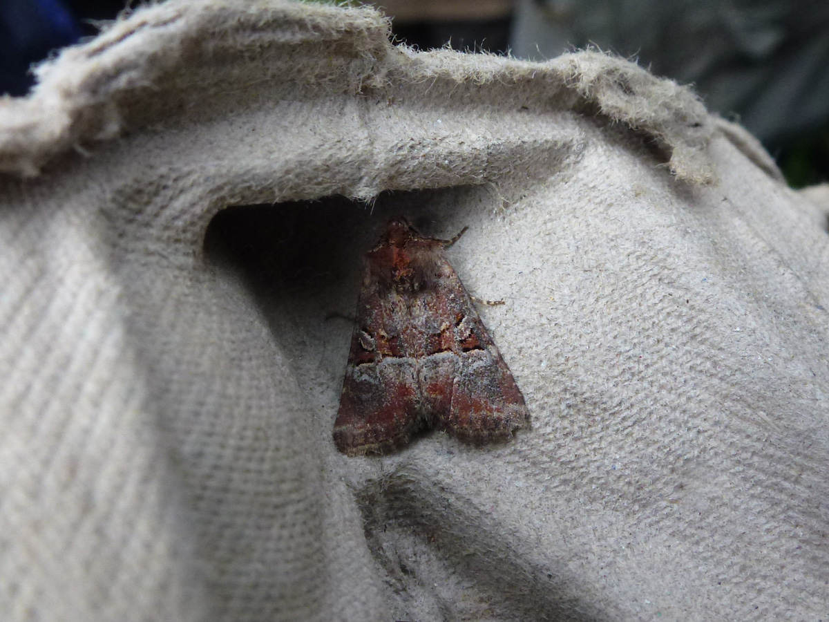 Rosy Minor Moth