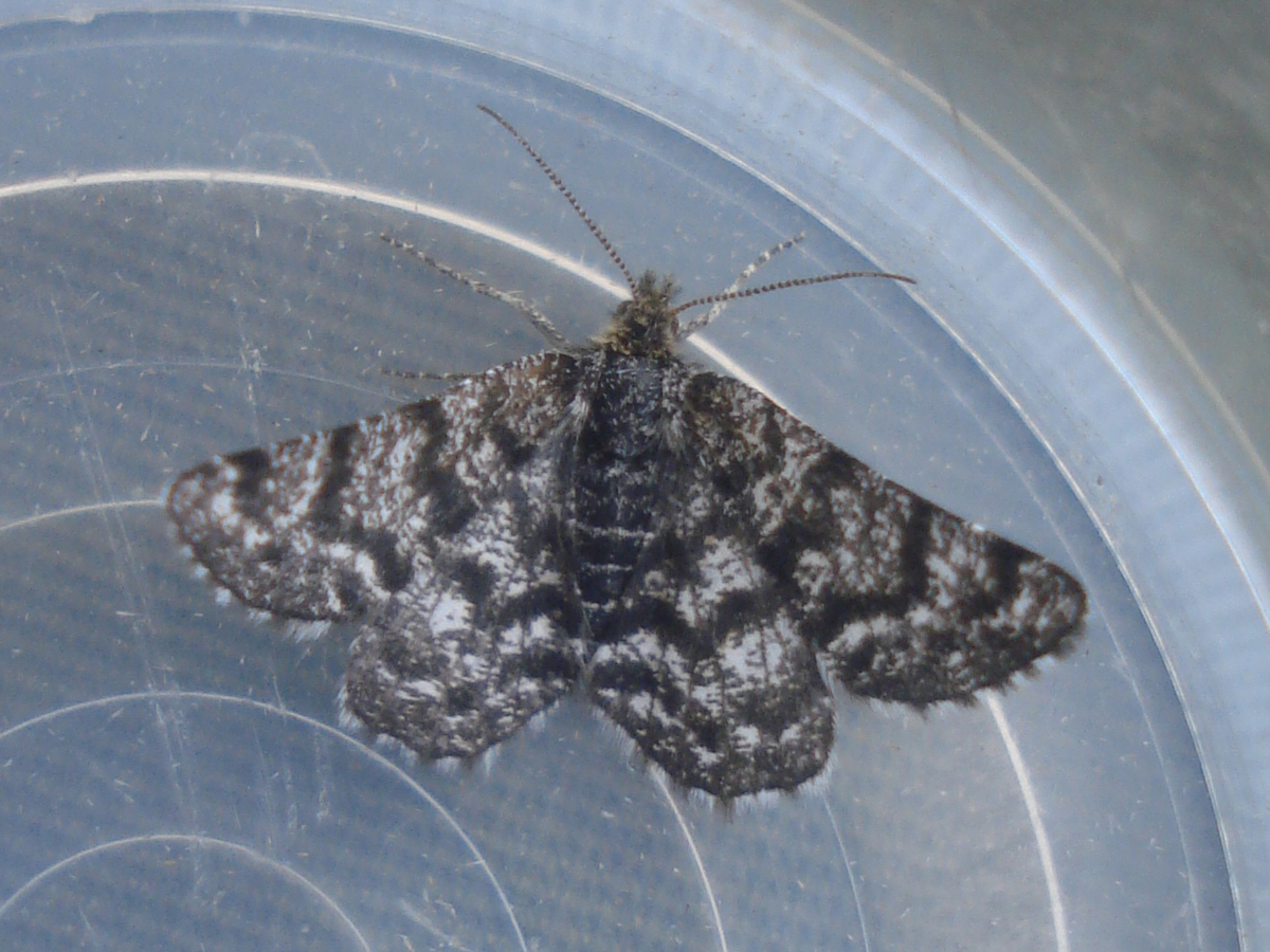 Netted Mountain Moth