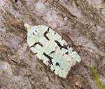 Acleris literana (N Richards)