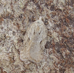Acleris logiana (N Richards)