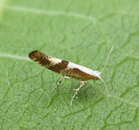 Argyresthia pruniella (Nigel Richards)