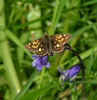 Chequered Skipper (Pete Moore)