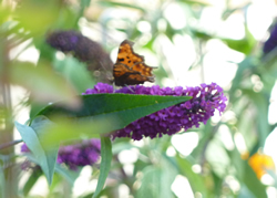 Comma at Grantown