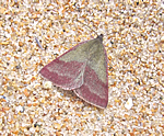 Small Purple-barred (Nigel Richards)