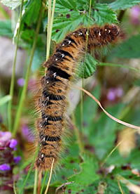 Northern Eggar caterpillar (photo by Liz Butcher)