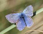 Common Blue, male (B Slater)