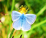 Common Blue male (J Botterill)
