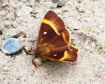 Northern Eggar (J Botterill)