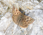 Dingy Skipper (A Turner)