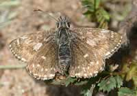 Dingy Skipper butterfly (photo by Sandy Sutherland)