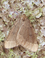 Early Moth (Nigel Richards)