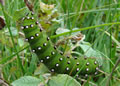Emperor Moth larva (photo by Jane Bowman)