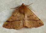 Feathered Thorn (male) (photo by J Borwick