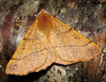 Feathered Thorn (J Borwick)