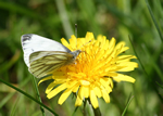 Green-veined White, Golspie (photo by  A Vittery)
