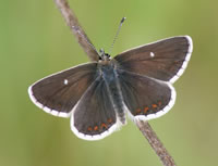 Norther Brown Argus (photo by Tony Mainwood)