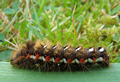 Knot Grass caterpillar (photo by Jane Bowman)