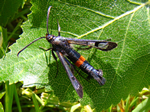 Large Red-belted Clearwing (J Bowman)