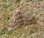 Mottled Grey (Nigen Richards, 19/01/2014