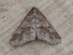 Mottled Umber (T Mainwood)