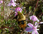 Narrow-bordered  Bee Hawkmoth (photo by Jane Bowman)