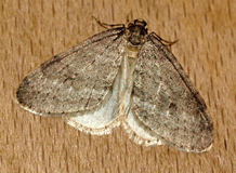 Northern Winter Moth (Caitlin Borwick)
