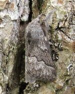 Pale Eggar (Nigel Richards)