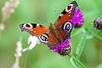 Peacock butterfly (J Botterill)
