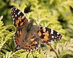 Painted Lady (B Slater)