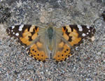 Painted Lady (photo by Jane Bowman)
