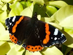 Red Admiral (photo by Bill Slater)
