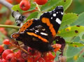 Red Admiral on rowan berries (photo by Jane Bowman)