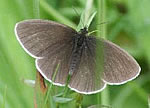 Ringlet upperwing, spots absent (photo by Malcolm Harvey)