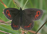 Scotch Argus butterfly (photo by Tony Mainwood & Malcolm Harvey)