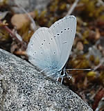 Small Blue, River Feshie (Audrey Turner)