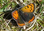 Small Copper (photo by Helen Mainwood)