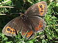 Scotch Argus (photo by Tina Dear)