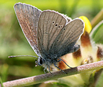Small Blue at Spey Bay (photo by Scott Shanks)