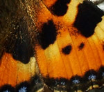 Small Tortoisehell wing section