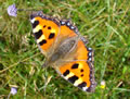 Small Tortoiseshell (photo by Jane Bowman)